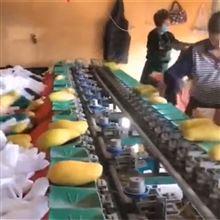 XGJ-SZ四川水果分选机凯特芒果分级设备果蔬分大小