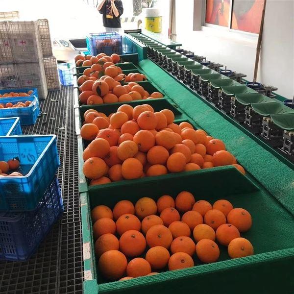 江西赣南脐橙分级机 水果分果机分选机
