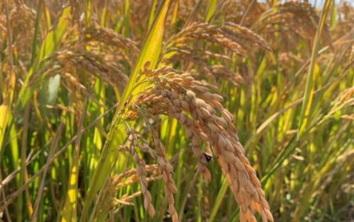 关于公布2021年稻谷低收购价格的通知